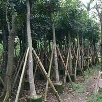 福建漳州大量供应 桃花心木胸径12公分袋苗地苗 精品货