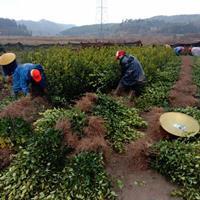 江西长林系列嫁接油茶苗