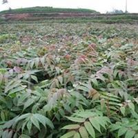 香椿苗价格+香椿苗多少钱一棵+山西香椿苗