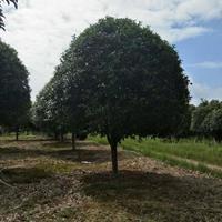 八月桂、广西桂花树、米径15公分桂花树