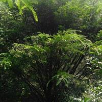 广西红豆杉 地径12公分红豆杉
