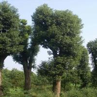 广西香樟树,大规格香樟树,20-80公分大香樟