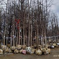 山东临沂地区供应12公分银杏8分树