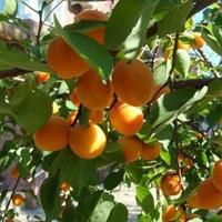 杏树小苗价格、杏树小苗批发、杏树小苗供应