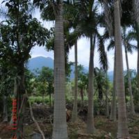 福建漳州布迪椰子基地各种规格大量供应,布迪椰子价格