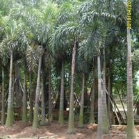 福建漳州大王椰子基地大量供应,大王椰子价格(无中间商)