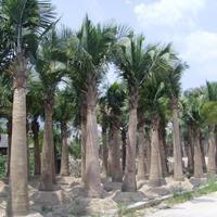 福建漳州国王椰子大量供应,国王椰子价格(无中间商)