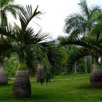 福建漳州酒瓶椰子大量供应,诚信经营,酒瓶椰子价格