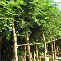 凤凰木各种规格大量供应,诚信经营,点进来不会让您吃亏!