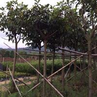 福建漳州高山榕基地各种规格大量供应,高山榕价格(无中间商)