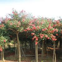 福建漳州鸡冠刺桐基地各种规格大量供应 鸡冠刺桐价格