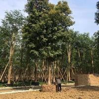 福建漳州秋枫重阳木基地各种规格大量供应,秋枫重阳木价格