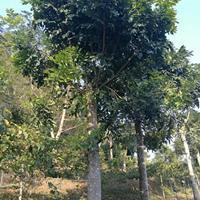 福建漳州大量供应 精品桃花心木18-25公分 袋苗地苗