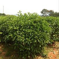 非洲茉莉球各种规格大量供应,诚信经营,点进来不会让您吃亏!