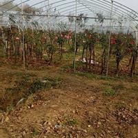 江苏精品树状月季 月季中的精品 漂亮的树状月季价格 树状月季