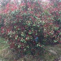 紅葉石楠樹10到15公分4/5米冠幅羅漢松10到15公分原型