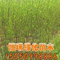 木槿报价 木槿苗木基地 木槿产地 木槿直销 木槿苗圃