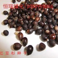 红豆杉种子批发 优质红豆杉种子 乔木种子 树种子包邮