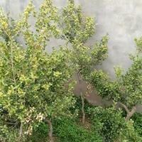 树形瓜子黄杨 单杆黄杨 黄杨小苗 黄杨分栽苗
