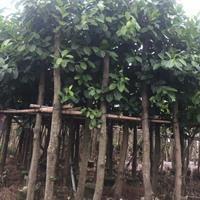 福建漳州大量供应 精品高山榕8公分 地苗袋苗