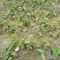 浙江杭州萧山佳颖水生植物基地大量供应紫芋鱼腥草优质水生植物