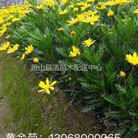 黄金菊/萧山黄金菊报价/火棘球价格/火棘球毛球/精品火棘球供