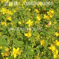 金丝桃/旱伞草价格/旱伞草常年低价供应/海桐球