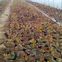 红叶石楠、金叶莸、红帽月季、八仙花