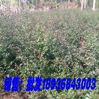 火棘地栽苗,火棘60公分高,火棘球基地,火棘色块苗,