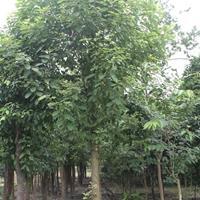 供应大叶香樟 成都大叶樟苗木 大叶樟价格 成都大叶樟批发