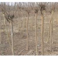 香椿、水杉、国槐、垂槐、垂柳、金丝垂柳、曲柳、直生柳