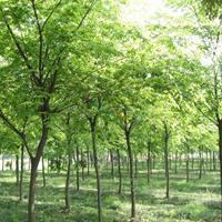 榉树行情 榉树图片 优质榉树种植基地
