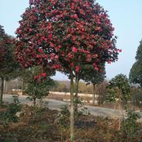 金华三联供应8公分茶梅 精品树