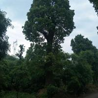 浙江供应精品香樟 100公分 优质香樟树