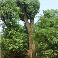 江蘇特價供應大小規格香樟樹,質量優,規格全