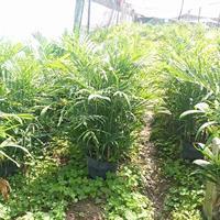 夏威夷植物,夏威夷椰子