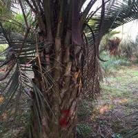 福建布迪椰子,漳州布迪椰子价格