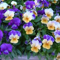 三色堇 一串红 吊兰 瓜叶菊 芦荟 牡丹 芍药 紫花苜蓿