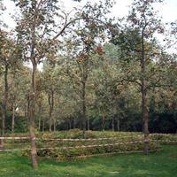 大量柿树,柿子树,果树,果园柿树,柿树苗