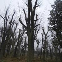 现货皂角,皂角树,皂角小苗,大皂角树