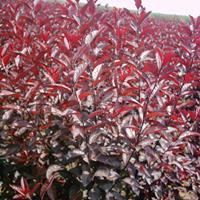 2-10公分紫叶矮樱,紫叶矮樱小苗