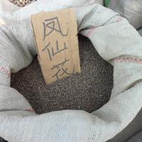 鳳仙花籽種