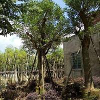 漳州鸡冠刺桐,8公分-25公分鸡冠刺桐