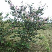 丛生紫薇,*新丛生紫薇批发报价,日本矮紫薇,夏天开花苗木
