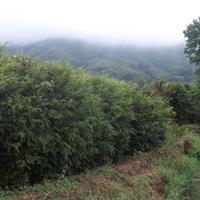 江苏低价批发红豆杉,1到30公分粗,质量优