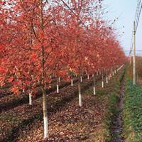 美国红枫秋火焰  美国红枫树苗 美国红枫叶子 种植方法