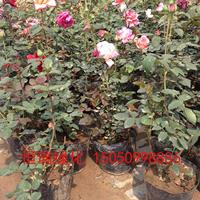 大花月季 品种月季 月季花产地 月季花苗圃直销