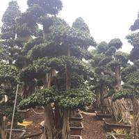 福建漳州榕树桩景各种规格批发  榕树价格