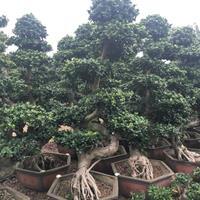 福建漳州造型榕树基地各种规格批发  榕树价格