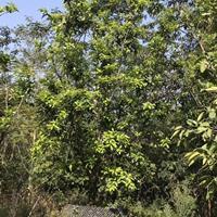 福建漳州柚子树各种规格批发  柚子树价格
